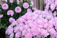 Bouquet des chrysanthèmes roses Photographie stock libre de droits