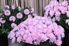 Bouquet des chrysanthèmes roses Photographie stock
