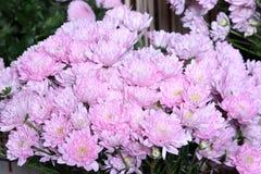 Bouquet des chrysanthèmes roses Images libres de droits