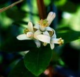 bouquet des citrons de floraison en prévision de la pollinisation photographie stock