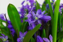 Bouquet des crocus violets et des nivalis blancs de Galanthus de perce-neige Photos libres de droits