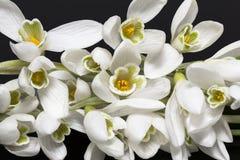 Bouquet des fleurs blanches des perce-neige d'isolement sur le backgrond noir Image stock