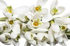 Bouquet des fleurs blanches des perce-neige d'isolement sur le fond blanc Image libre de droits