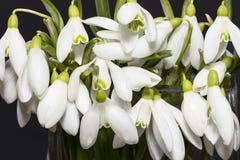 Bouquet des fleurs blanches des perce-neige d'isolement sur le fond noir Photographie stock
