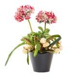 Bouquet des fleurs de boule de neige Photographie stock