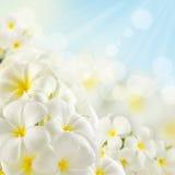 Bouquet des fleurs de plumeria Images libres de droits