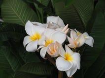 Bouquet des fleurs de Plumeria Photos libres de droits