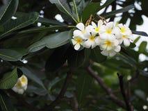 Bouquet des fleurs de Plumeria Photo libre de droits
