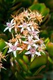 Bouquet des fleurs minuscules d'usine de jade image libre de droits