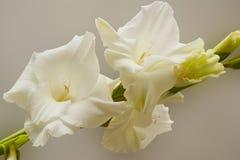 Bouquet des gladioli blancs Fleurs sensibles de glaïeul de blancheur image stock