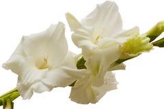 Bouquet des gladioli blancs Fleurs sensibles de glaïeul de blancheur photos stock