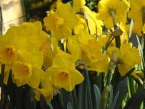Bouquet des jonquilles jaunes en plan rapproché et dans le contraste photo libre de droits