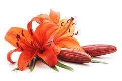 Bouquet des lis oranges Photographie stock libre de droits