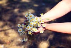 Bouquet des marguerites blanches de champ dans des mains humaines Photo stock