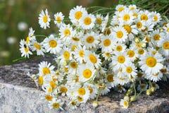 Bouquet des marguerites sauvages Photos stock