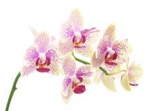 Bouquet des orchidées Photographie stock libre de droits