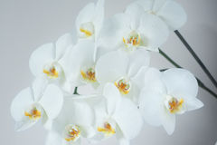 Bouquet des orchidées blanches (orchidaceae) Images libres de droits