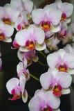 Bouquet des orchidées roses et blanches Photo stock