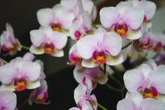 Bouquet des orchidées roses et blanches Images libres de droits