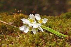 Bouquet des perce-neige Photo libre de droits
