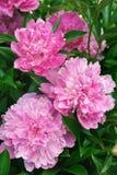 Bouquet des pivoines roses Image libre de droits