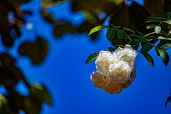Bouquet des roses blanches sur la branche avec le ciel bleu à l'arrière-plan photo stock