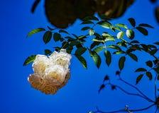Bouquet des roses blanches sur la branche avec le ciel bleu ? l'arri?re-plan photo libre de droits