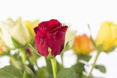 Bouquet des roses colorées Photographie stock libre de droits