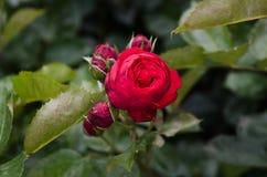 Bouquet des roses, d'un rouge intense, comme le parfum photographie stock