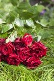 Bouquet des roses de scarlett se trouvant sur l'herbe Photos libres de droits
