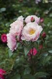 Bouquet des roses roses et blanches avec des bourgeons sur la tige, sur le fond du jardin Images stock