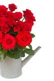 Bouquet des roses rouges fraîches dans la boîte d'arrosage Image libre de droits