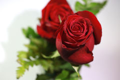 Bouquet des roses rouges sur un fond blanc Photo stock