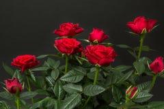Bouquet des roses rouges sur un fond noir photographie stock libre de droits