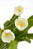 Bouquet des tulipes blanches Images libres de droits
