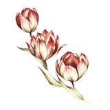 Bouquet des tulipes Illustration d'aquarelle d'aspiration de main Images libres de droits