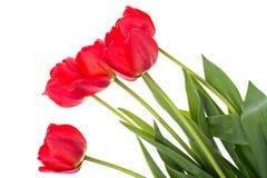 Bouquet des tulipes rouges de floraison d'isolement sur le blanc Photographie stock