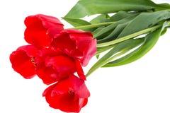 Bouquet des tulipes rouges de floraison d'isolement sur le blanc Images libres de droits