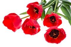 Bouquet des tulipes rouges de floraison d'isolement sur le blanc Image libre de droits