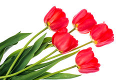 Bouquet des tulipes rouges de floraison d'isolement sur le blanc Photos stock