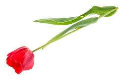 Bouquet des tulipes rouges de floraison d'isolement sur le blanc Image stock