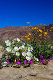 Bouquet of Desert Flowers. Vertical Composition With Bouquet of Desert Wildflowers With Mountains and Blue Sky in Background Stock Photos