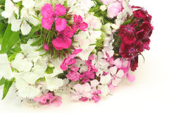 Bouquet of dianthus in a white background Royalty Free Stock Image