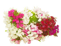 Bouquet of dianthus in a white background Stock Images