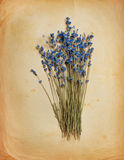 Bouquet of dried  lavender Stock Images