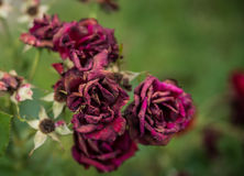 Bouquet of dried roses Stock Photos