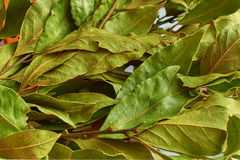 Bouquet of dry Laurel leaves. Background of dried Laurel leaves Royalty Free Stock Images