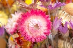 Bouquet of dry straw flower or everlasting Helichrysum bracteatum. Stock Photography