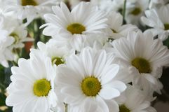 Bouquet du chrysanthemus blanc sur un fond clair images stock