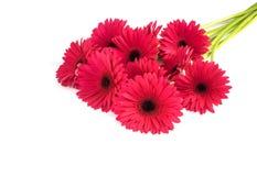 Bouquet du Gerbera rose foncé d'isolement sur le blanc image libre de droits